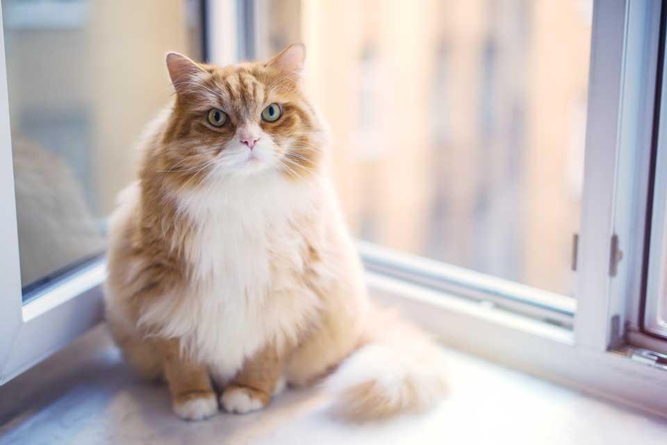 Норма питания для кошек с избыточным весом