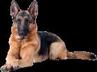 Такие разные собаки. Лабрадор. Немецкая овчарка. Доберман. Кане Корсо. Акита-ину и сиба-ину